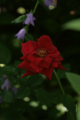 Barbers' Garden, July 2008: Old Tea Rose