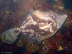 Fan-bellied Leatherjacket (richard ling) Tags: fish underwater au australia scuba diving nsw leatherjacket filefish sydneyharbour chordata manlycove actinopterygii fishspeciesgroup tetraodontiformes monacanthidae monacanthuschinensis fanbelliedleatherjacket monacanthus