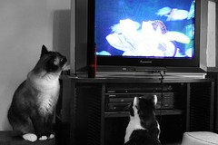 Blueberry Helps Squeaky Hunt TV Critters 2 (HappyPlatypus) Tags: blackandwhite rescue pet cute love beautiful loving cat happy hilarious fuzzy sweet gorgeous adorable kitty blueberry gato darling endearing selectivecolor squeaky multiplecats captivating animalcompanion catsitterdvd