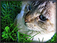 Cat Eyes (youneverknowphotography) Tags: blue portrait white green grass animal cat canon outside mammal nose eyes sitting outdoor powershot whiskers adobe clover picnik lightroom g7