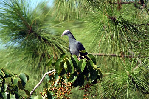 white crowned pigeon