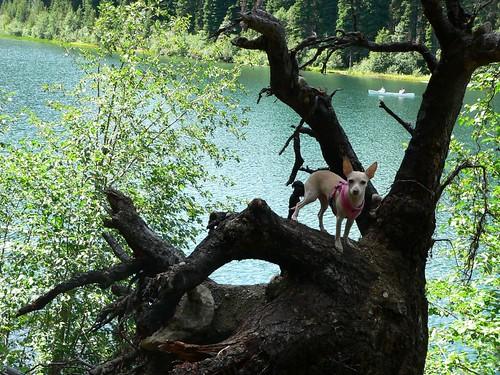 Minou climbing trees