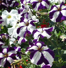 purple and white flowers cropped (36 Frames Photography) Tags: world flowers white classic floral colors fauna digital one this is washington globe eyes nikon purple d70 dcc think through nikkor colorfields southworth aphoto blueribbonwinner flowerpictures inspiredbylove creativephoto methe my gallery awardsi experiencewa fashionworld diamondheart amazingshots crystalaward amateurshighfive flickrbronzeaward heartawards diamondstars exemplaryshotsflickrsbestpost1award3 eperkeawards cmwd platinumheartawards colourartawards platinumphotography theperfectphotographer goldstaraward creativemaster arealgem digifotopro discoveryphotos looklong 469photographer llovemypics flickrloversgroup doubledragonawards abeautiful~moment thatsalmostperfect dragonflyawards fireaward kornrawiee flowersflckr heartsglobal villagegolden artinspirejust exposuremy winnersnational geographicscore