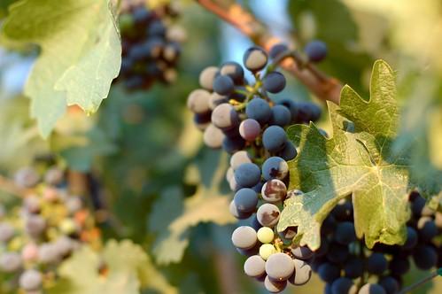 Grapes at Napa Valley