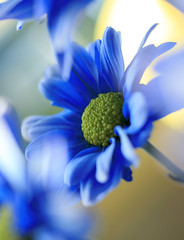 Blue (bratli) Tags: blue flower macro yellow morninglight daisy rebelxti macroflowerlovers