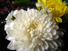 calm (Jus.) Tags: flowers sun photography blackwhite aperture focus clones zippers rosses happyflowers artofphotography