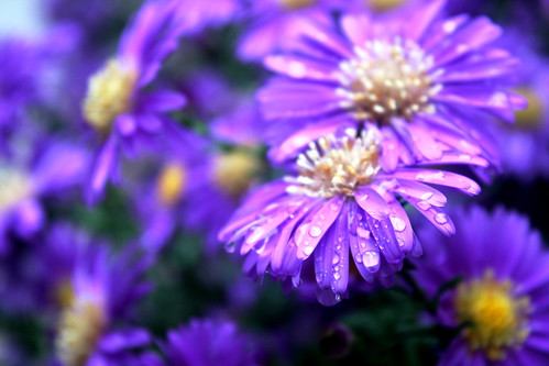 flowers blur flower macro nature water beautiful beauty electric canon petals drops purple natural centre tribe quest relaxation 2008 called 40d