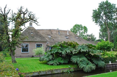 Giethoorn. Cottage with gunnera manicata or giant rhubarb.