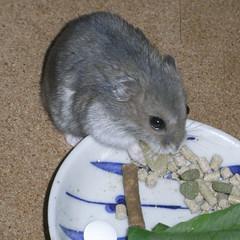 乾燥パインを食べるコー太