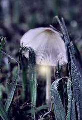 Hobgoblin Lantern (deepintheforestcat) Tags: mushroom grasses lantern fairyland elves tinymushroom hobgoblins dewdroplets