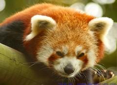 Wakey, Wakey...sleepy head... (law_keven) Tags: animals zoo furry panda dof bokeh redpanda critters furryfriday colchesterzoo zoology seenonflickr