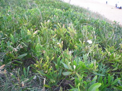 Plant 5 (cobalt.penguin) Tags: beach dunes sydney peninsula avalon barranjoey