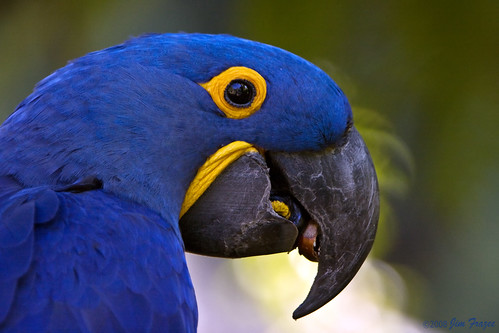 Hyacinth Macaw Cracking Brazil Nut