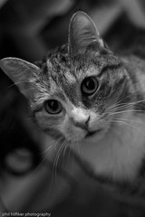 a good friend ([phil h]) Tags: portrait bw 15fav animal cat eos eyes maja september 2008 30d ef50mmf18mkii img0914lred1