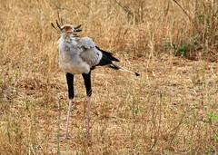 Secretary Bird (crazykanga) Tags: kenya tsavo photofaceoffwinner pfosilver