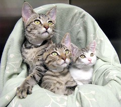 Crimson, Clover & Millie ~ Sister Kittens (Pixel Packing Mama) Tags: cute beautiful topv111 wonder lovely1 gorgeous awesome stunning excellent greatshot fv10 catsandkittensset capture congratulations omg v200 welldone exclamationpoints heartlandhumanesociety 50v5f verycool catpix pixelpackingmama furryfridaypool dorothydelinaporter views200 favorites20 worldsfavorite wonderfulunlimited cc200 catcentury centurianclub montanathecat~fanclubpool bonzag favoritedpixset 20commentsanduppool spcacatspool 5favesandlessthan100viewswhenaddedpool bestofcats cutekittenspool 100views10favouritesunlimitedpool invitedbyoneormoreiconstojoingroupsset greatpixgallery20favespool commentedwithanicondirectorypool ceruleanthecat~fanclubpool tabbycatsset cattriospool cutecatsandcuddlykittenspool exclamationpointspool pixwithexclamationpointsincommentsset canonallcanonset thecorvallisoregonyearsset thecorvallisoregonyearspart5set canonpowershota720isset beautifulcatspool views201300pool 1025favouritespool catcatscatzpool dashingdivasprettyprincessespool bobbleheadprototypesset catscookiecatfriendspool bonzagallery10favesonlypool awwwed~cuteadorablephotospool topcatgrouppool uploadedsecondhalfof2008set boc1208 exclamationpointsincommentsset pixelpackingmama~prayforkyronhorman oversixmillionaggregateviews over430000photostreamviews