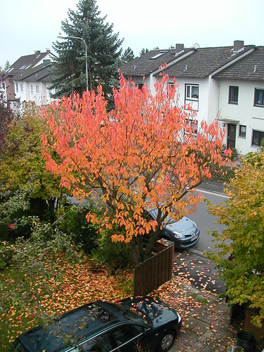 Die Zierkirsche im Herbst vom Schlafzimmerfenster aus