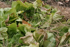 frost-tipped endive