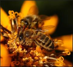 At work... (Dzwjedziak) Tags: macro insect searchthebest bee babiamnt karmapotd karmapotw babjuszka dzwjedziak specinsect theperfectphotographer