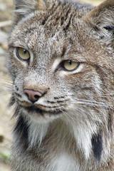 Lynx , AK (moelynphotos) Tags: lynxalaskaanimalsnaturewildlifemammalcatplanetearthanimalsbirdsnaturescreationsearthitsincredibleanimalswildpotofgoldspecanimalmywinnersrainbowelite gettyimagesbymoelynphotos