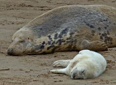 Donna Nook (StvIod777) Tags: seals donnanook iodice