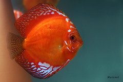 Red Marlboro (marsselm) Tags: red amazon marlboro discos discus cichlid ciclideo supershot platinumphoto colorphotoaward goldstaraward