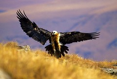 Lammergeier - Giant's Castle South Africa 1-1 (fveronesi1) Tags: africa birds southafrica giantscastle beardedvulture gypaetusbarbatus