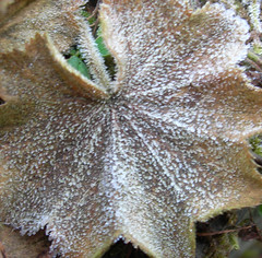 frosted_leaf_1