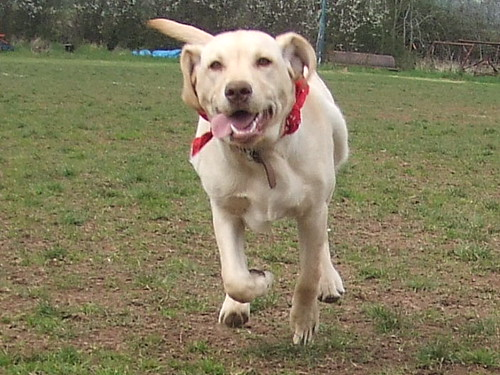 yellow Labrador Retriever - Milly