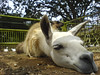 Bored Llama (eleeme) Tags: animals zoo llama bored sleeeping