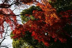 Nara  (ddsnet) Tags: autumn plant leaves japan sony autumnleaves  nippon  nara autumnal nihon 900  backpackers         naraken  leaves narashi  autumn autumn   leaves 900