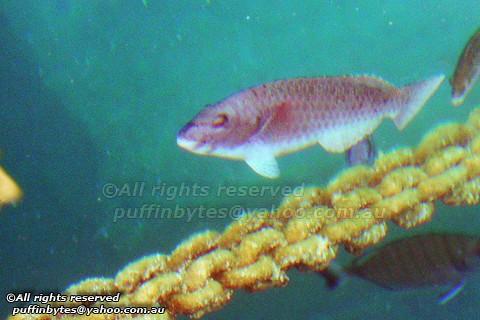 European Parrotfish - Sparisoma cretense