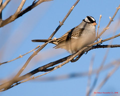 White-Crowned Sparrow (Jim Baker Photos) Tags: whitecrownedsparrow zonotrichialeucophrys forthebirds maravillasdelmundo backyardbirdwatching nikond80 tennesseewildlife backyardbirdfeeders jimbakerphotos birdshare elrinconfotografico