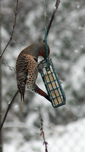 Male Red Shafted Northern Flicker