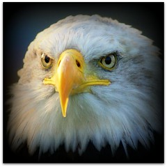 Mr Moody (patries71) Tags: eagle sony baldeagle picnik unclesam merryxmas arend amerikaansezeearend roofvogel sonyalpha patries71 vosplusbellesphotos roofvogelmanege