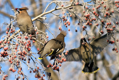 Waxwing eats berries