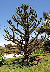 MONKEY-PUZZLE (Araucaria araucana) PEHUN (168 x 240) Original=(2433 x 3477) (turdusprosopis) Tags: araucaria araucarias monkeypuzzle araucariaaraucana florachilena pionero monkeypuzzletree araucariaceae pehun araukarie plantasdechile andentanne floranativadechile affenschwanzbaum chilenischearaukarie araucariasp floraargentina chilepine pinoaraucaria floradechile chilenischeschmucktanne floranativachilena schuppentanne dsespoirdessinges rbolesargentinos rbolesdelaargentina rbolesdeargentina rbolesautctonosdelaargentina rbolesnativosargentinos rbolesnativosdelaargentina plantasautctonasdelaargentina floraautctonaargentina floraautctonadeargentina plantasnativasargentinas plantasnativasdeargentina rbolesautctonosargentinos rbolesautctonosdeargentina plantasautctonasdeargentina floraautctonadelaargentina rbolesnativosdeargentina josephbankspine conferasnativasdechile conferasnativaschilenas conferaschilenas conferasdechile floraautctonachilena floraautctonadechile rboleschilenos rbolesnativosdechile rbolesdechile rbolesnativoschilenos rbolesautctonoschilenos rbolesautctonosdechile conferasautctonasdechile conferasautctonaschilenas plantaschilenas plantasautctonaschilenas plantasnativaschilenas plantasautctonasdechile plantasnativasdechile araucariaduchili araucariadeneuqun araucariadechile araucariachilena araucarianeuquina araucariadelneuqun pinodelcile alberodellascimmia peun araucariaimbricata pinodebrazos monkeyswanhope araukariengewchse araucariadelcile pinheirodochile