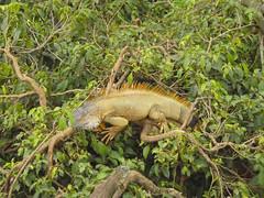 iguanas galore
