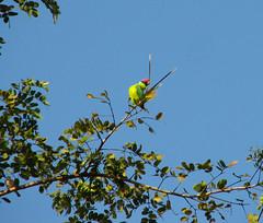 Plum-Headed Parakeet (Rajiv Lingayat) Tags: konkan
