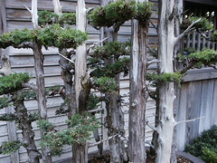 Huntington Library Japanese Bonsai Garden 0083