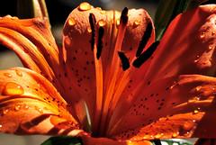 Lily (Cheng I) Tags: flowers summer sun plant flower macro nature water closeup flora nikon lily natural d2x sunny botanic condensation 花 waterdrops deu chengi deudrops
