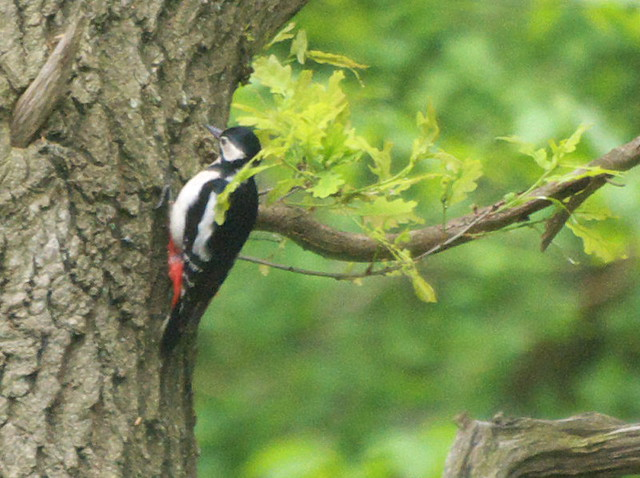 DSC_7709 greater spotted woodpecker