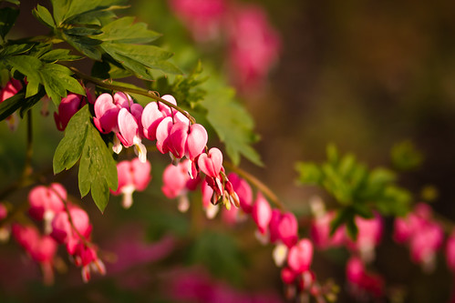 bleeding hearts-3906.jpg