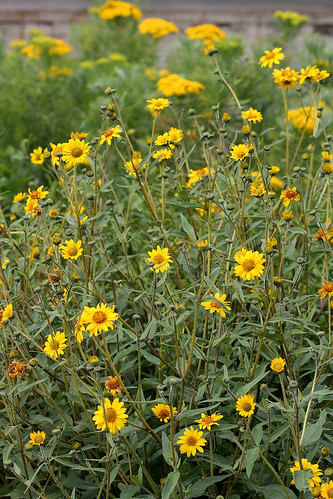 helianthus microcephalus lemon queen