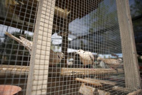 turtle dove cage