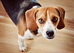 oliver (flygirlmeg) Tags: dog beagle nikon elements d90 florabella coffeeshopactions pse8