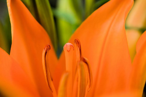 Vulnerable - an orange Asiatic lily in Stayton Oregon