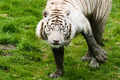 IMGP1222 (julien.hautot) Tags: chat blanc tigre chaton cerza tigreblanc k20d
