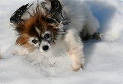 Tanja  snjnum - The oldest Papallion in Iceland (Gnna) Tags: old dog snow cute outside oldest hundur snjr tanja olddog 15yearsold hlaup leikur ti voffi papallion kjlturakki