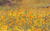 Wildflowers (A Camera Story) Tags: california hiking yosemite wildflowers hitecove sonydslra100 minolta100mmf28 thegoldenmermaid stainslausnationalforest